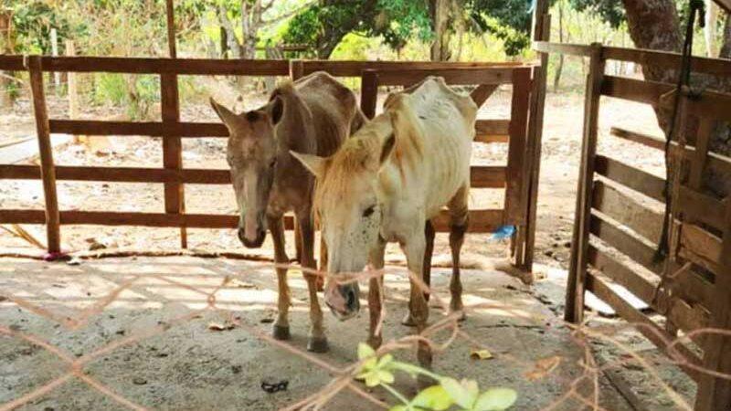 Fiscalização de Aparecida fecha abatedouro clandestino e resgata 8 cavalos   Foto: Divulgação / Semma