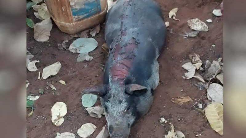 Uma das leitoas que morreu queimada após incêndio em fazenda de Jataí, Goiás — Foto: Arquivo pessoal/Wanderson Ferreira