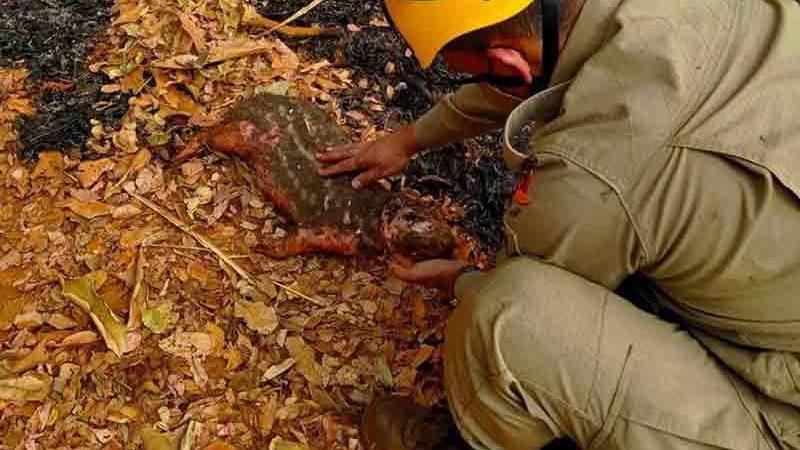 Paca com queimadura nas patas, cabeça e barriga morre após ser resgatada de incêndio em Nerópolis, Goiás — Foto: Divulgação/Corpo de Bombeiros