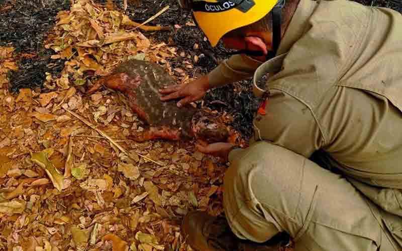 Paca com queimadura nas patas, cabeça e barriga morre após ser resgatada de incêndio em Nerópolis, GO