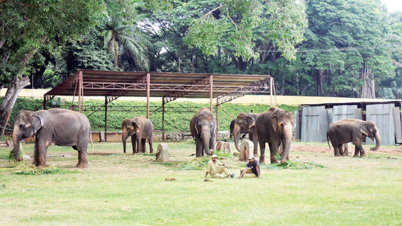 Quatro elefantes do Palácio Real de Mysore serão reabilitados em Gujarate
