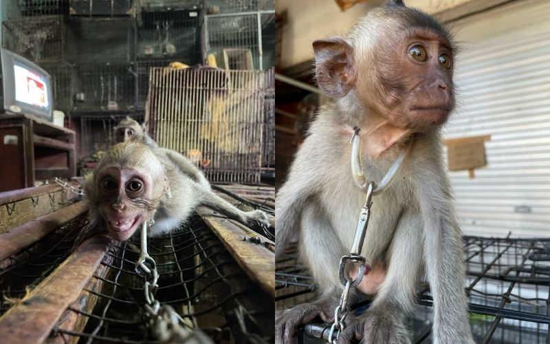 Bebês primatas ainda são vendidos abertamente no mercado de Bali, Indonésia