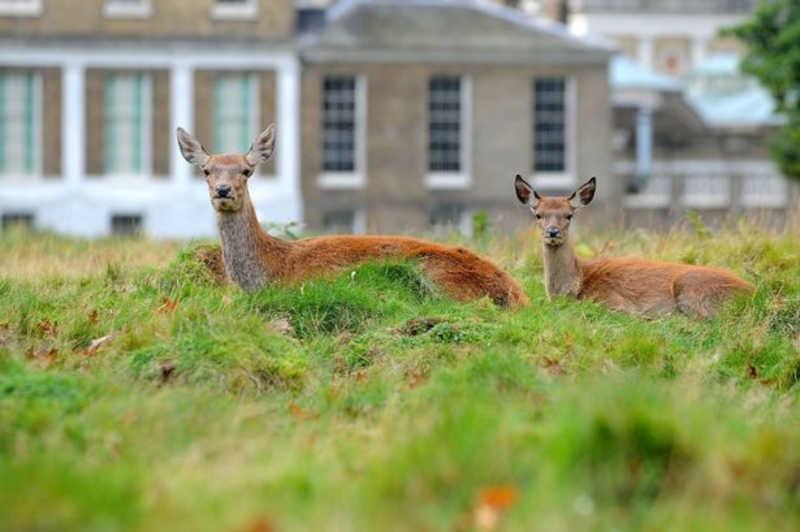 Há mais de 300 cervos no Bushy Park (Imagem: Darren Pepe / Surrey Advertiser)