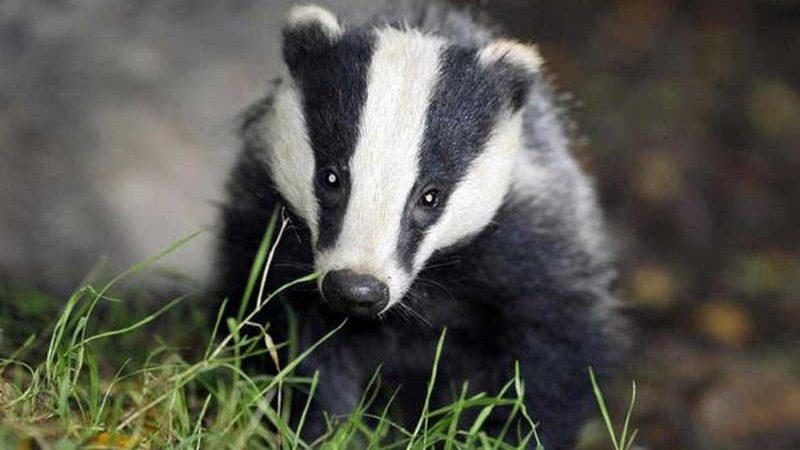 Grupo de direitos dos animais protesta contra o abate de texugos na Irlanda do Norte