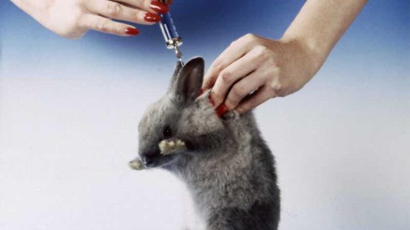 Um coelho recebendo uma injeção (montado) (Imagem: Getty)