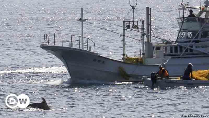 Japão volta a caçar golfinhos