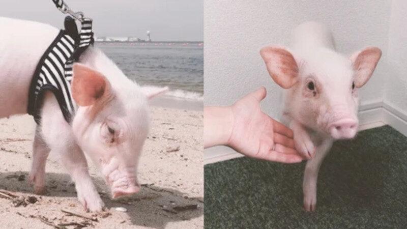 KALBI, porco e estrela do YouTube / crédito: Youtube / Eaten Pig after 100 days