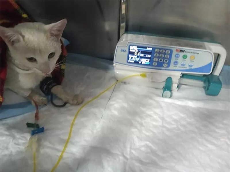 Gato castrado de forma caseira e precária no sul de Minas é adotado por investigador da Polícia Civil
