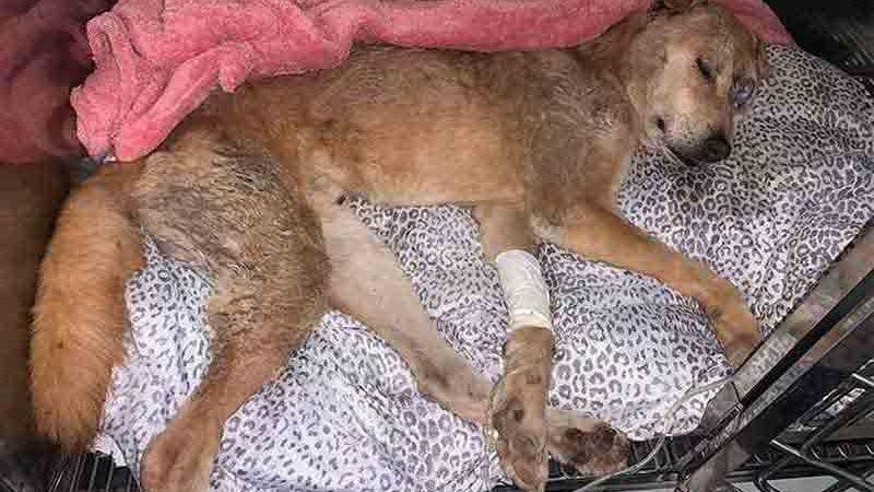 Ainda com vida, Campeão foi levado para o veterinário, mas acabou morrendo em função da gravidade das agressõe (foto: Amélia Gomes/Divulgação)