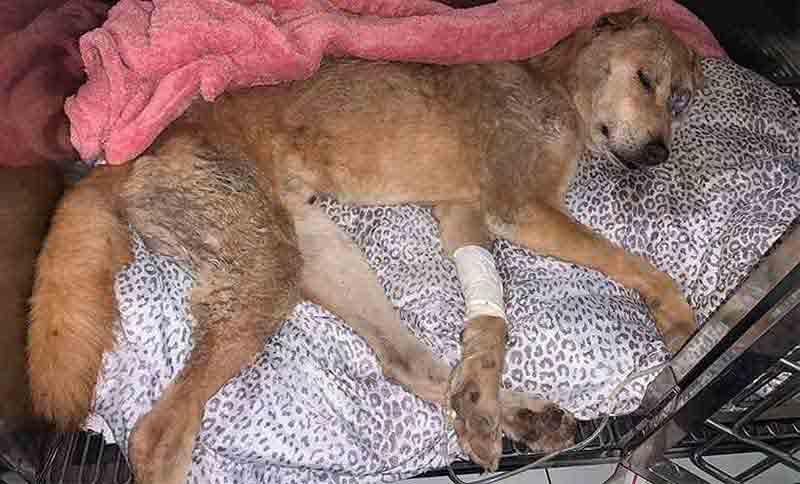 Cachorro vítima de maus-tratos, Campeão perde a batalha pela vida