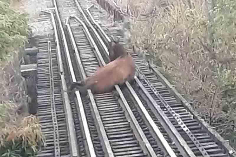 Cavalo fica com a pata presa em linha férrea e quase é atropelado em Sete Lagoas, MG