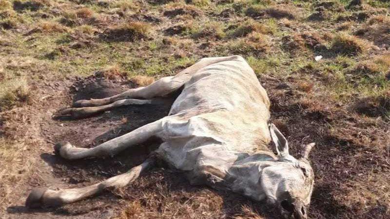 Oito animais morreram de fome em fazenda. (Foto: Divulgação/PMA)