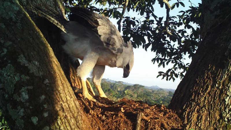 Filhote de harpia na forquilha que sustentava seu ninho em Aripuanã, no Mato Grosso. — Foto: Everton Miranda