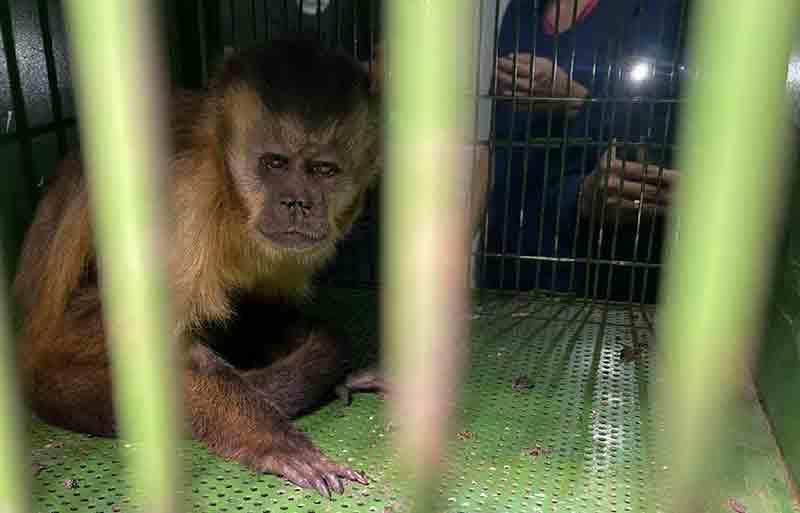 Macaco-prego será solto pela equipe da Sema após atendimento veterinário - Foto por: Assessoria