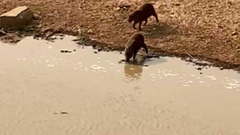 Animais se refrescam em poça formada com ajuda de caminhão-pipa no Pantanal Foto: Reprodução