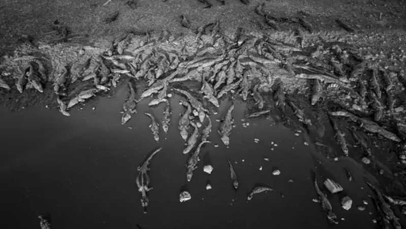 Na ponte de rodovia no Pantanal, jacarés se amontoam e morrem desnutridos. Foto: Fernando Faciole/GRAD / BBC News Brasil