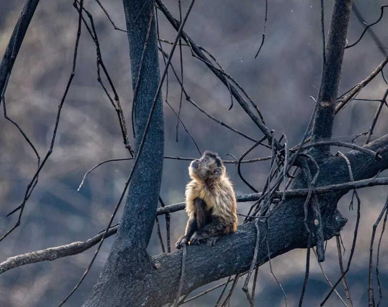 Macaco foi resgatado em incêndio no Pantanal em Mato Grosso — Foto: Gustavo Figueirôa/SOS Pantanal