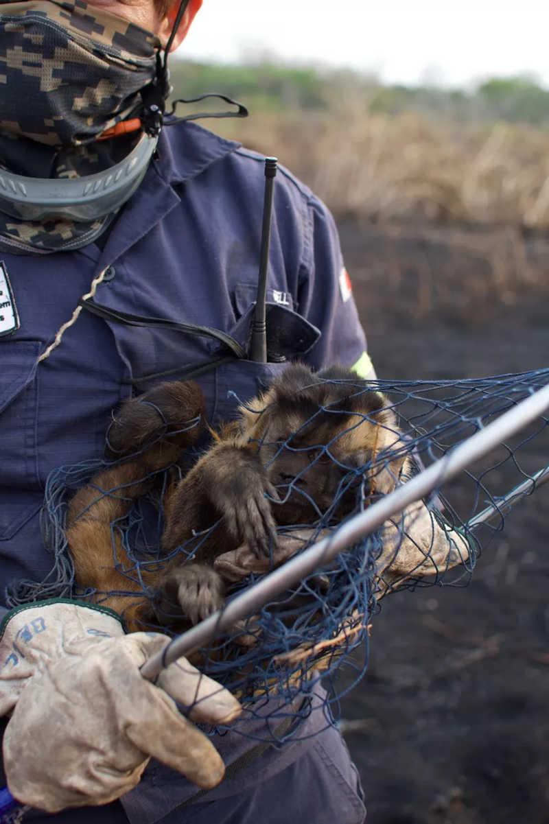 Macaco resgatado por voluntários no Pantanal em Mato Grosso — Foto: Gustavo Figueirôa/SOS Pantanal