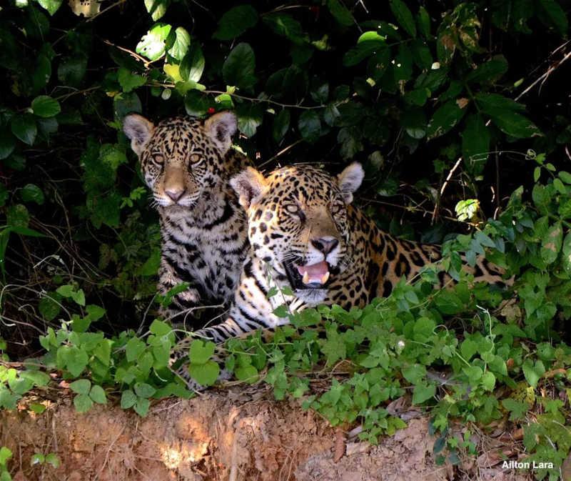 Filhote de onça-pintada e a mãe são observados em Porto Jofre, no Pantanal de Mato Grosso — Foto: Ailton Lara
