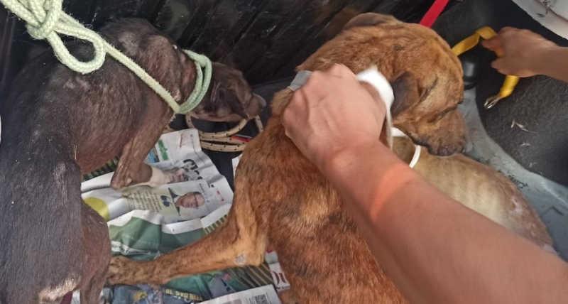 Quatro cachorros são resgatos por sofrerem maus-tratos em VG. Foto:Semma/VG