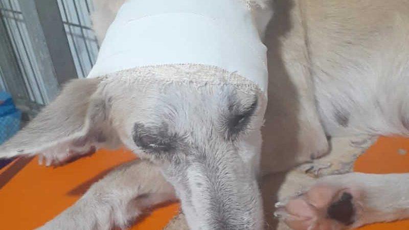 Cadela está sendo tratada após ser atropelada pelo próprio tutor em Belém — Foto: Ong Xerimbabos/Reprodução