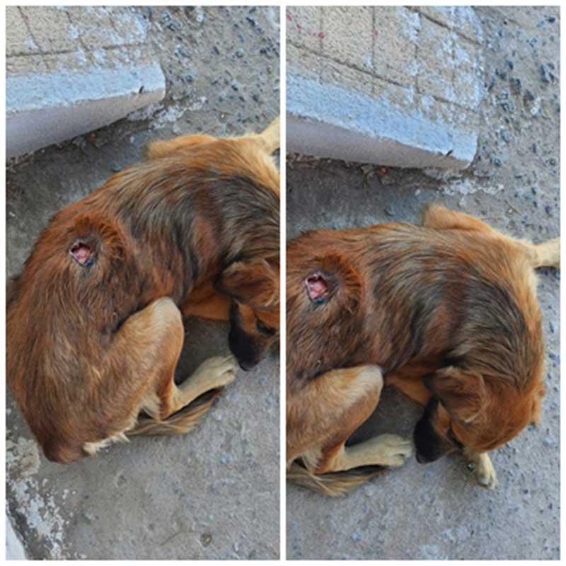 Cão de rua com grave infecção precisa de ajuda em Patos, PB: 'o ferimento está aumentando', disse resgatista