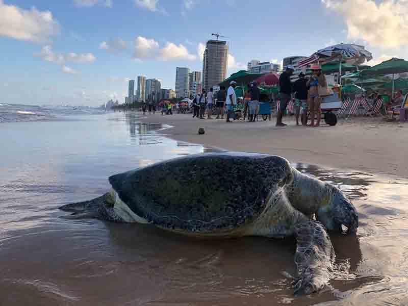 Tartaruga-marinha é encontrada morta com ferimento no pescoço na praia de Boa Viagem, na zona sul do Recife