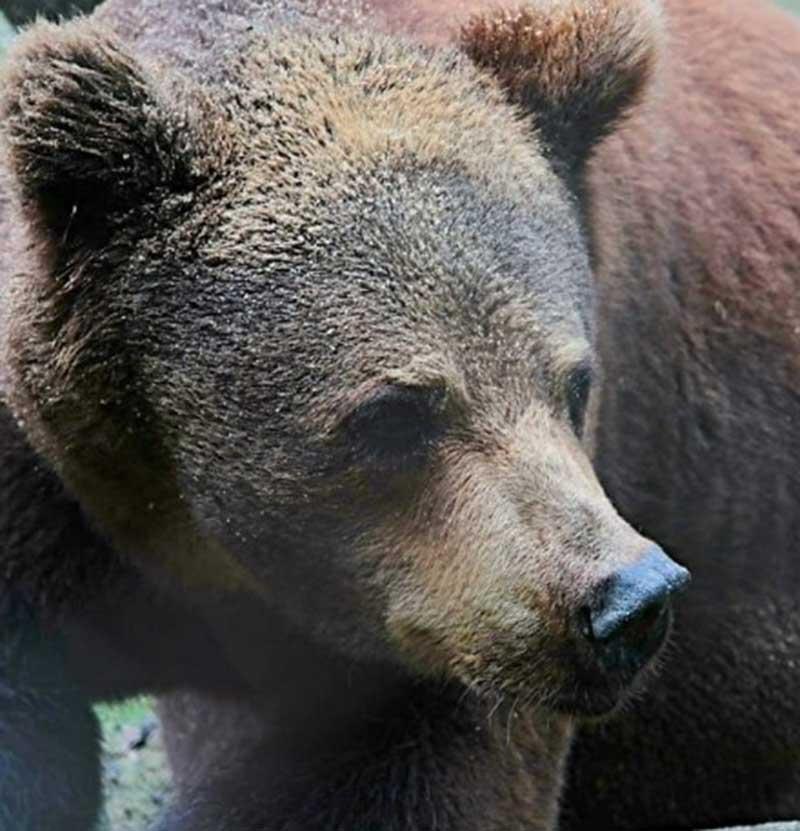 Úrsula, ursa-parda de zoológico no Recife (PE), será transferida para o Rancho do Gnomos em SP