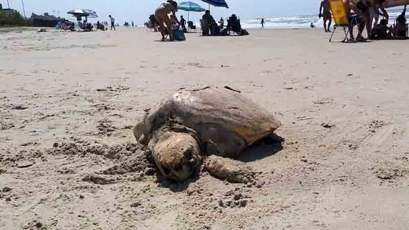 Animais marinhos foram encontrados mortos em praias do Paraná neste domingo (05). Foto: Eloá Cruz/Tribuna do Paraná