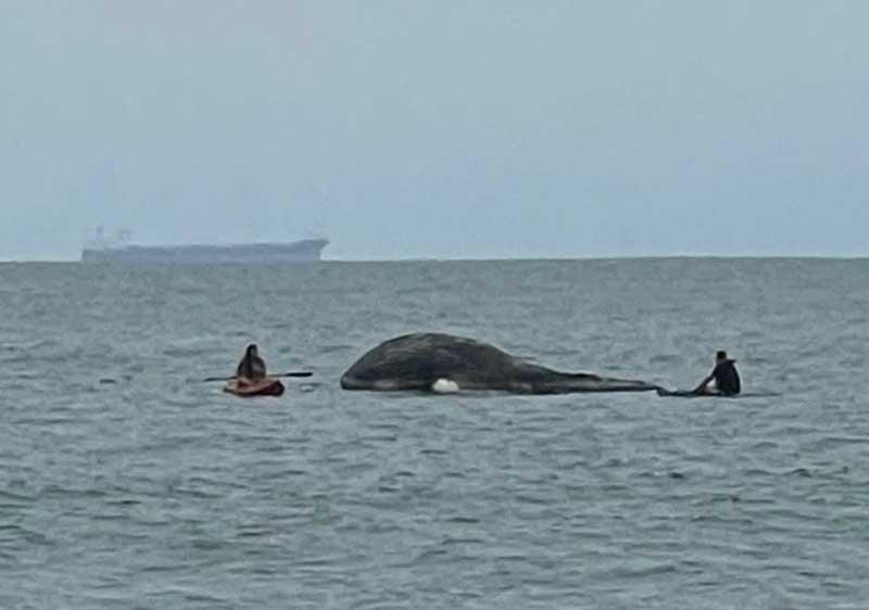 Baleia-jubarte é encontrada morta no mar de Paraty, RJ