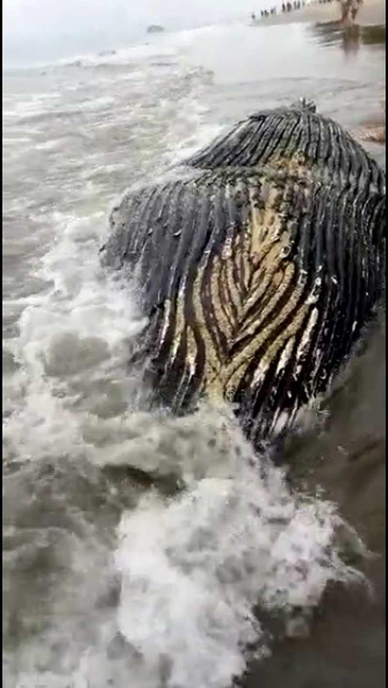 Baleia jubarte foi removida para a areia — Foto: Redes Sociais
