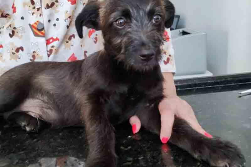 Cão que foi jogado da janela e quebrou a pata é resgatado em Brusque, SC