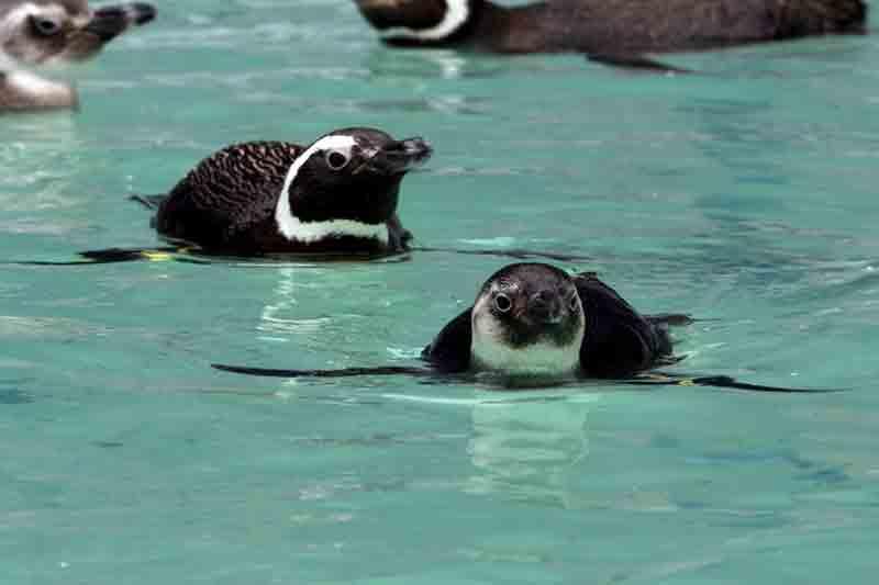 Pinguins em fase de treino de nado e impermeabilização das penas — Foto: Nilson Coelho/R3 Animal
