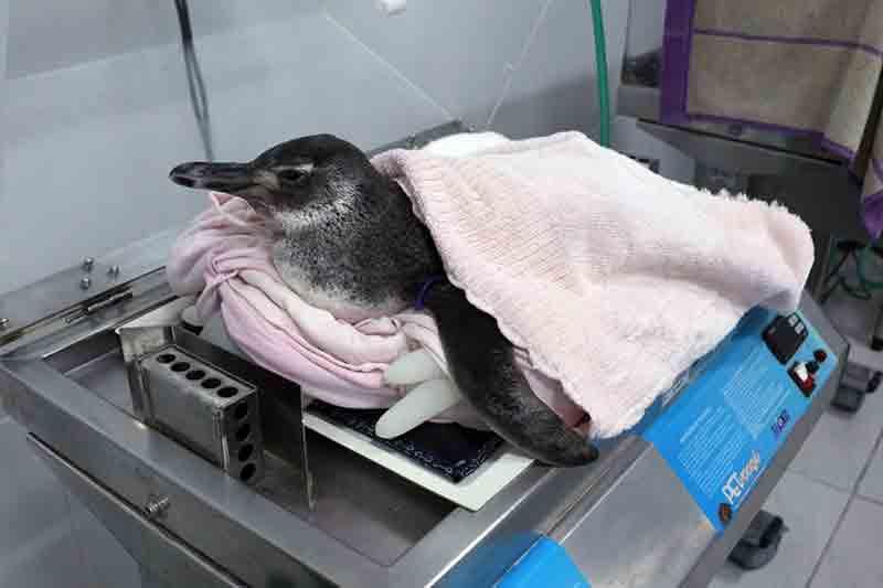 Pinguim sendo preparado para a Unidade de Tratamento Animal — Foto: Nilson Coelho/R3 Animal
