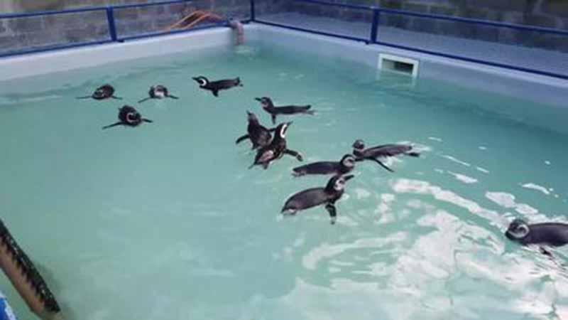 Dos 1,1 mil pinguins resgatados nas praias de Florianópolis em 2021, só 129 estavam vivos, diz associação