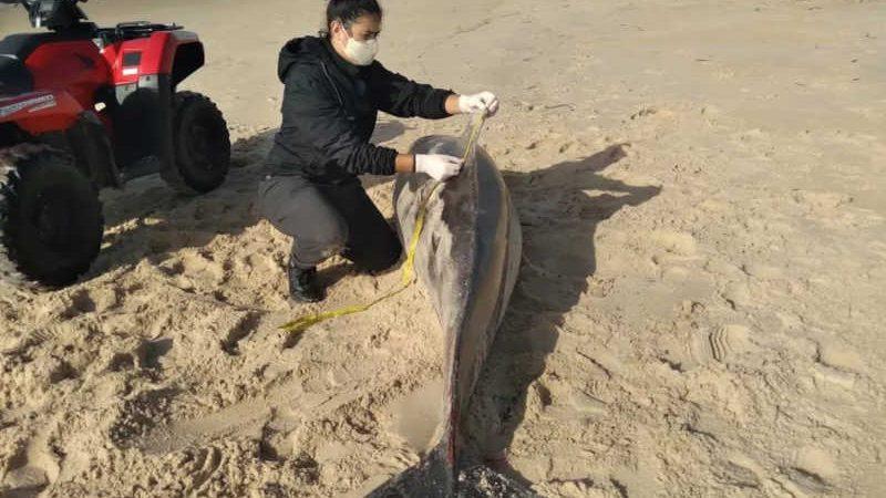 Golfinho foi encontrado morto em praia de Florianópolis nesta quarta-feira (22) — Foto: Lucas Pedroso/R3 Animal