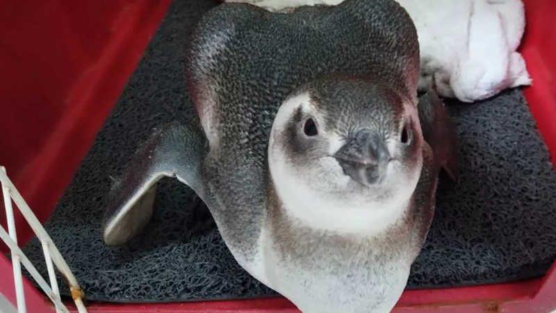 Pinguim resgatado em julho deste ano na praia do Ingleses, em Florianópolis (SC) — Foto: Nilson/R3 Animal