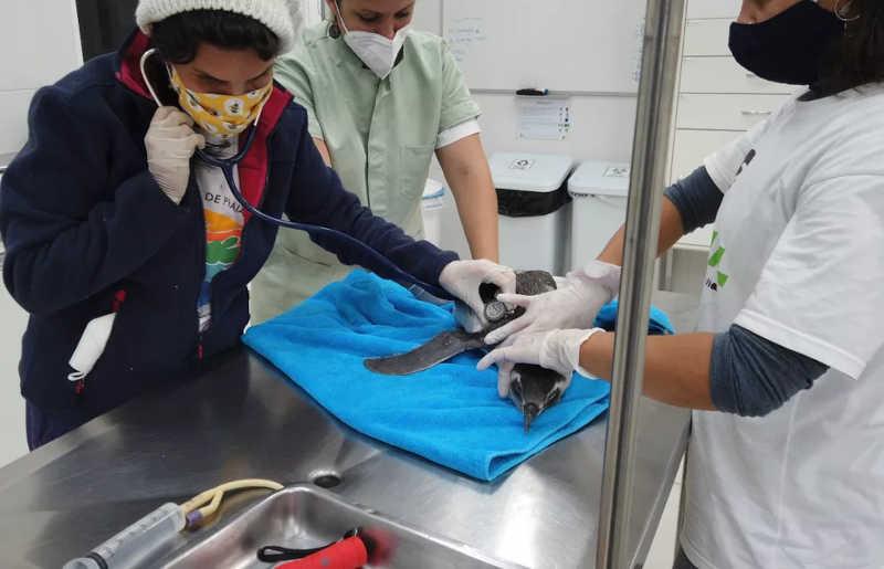 Pinguim era jovem e estava debilitado, segundo veterinários — Foto: Nilson/R3 Animal