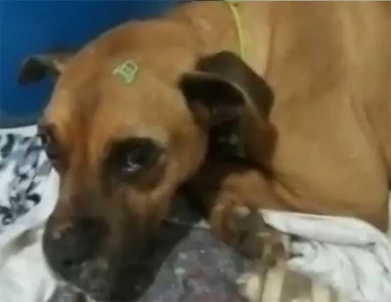 Cão teria sido abandonado por causa de gastos com tratamento no norte de SC