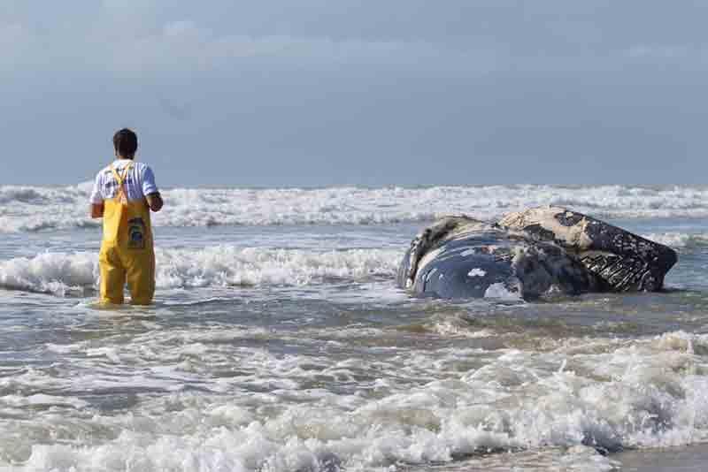 Baleia-jubarte é encontrada morta enrolada em rede de pesca em Laguna, SC