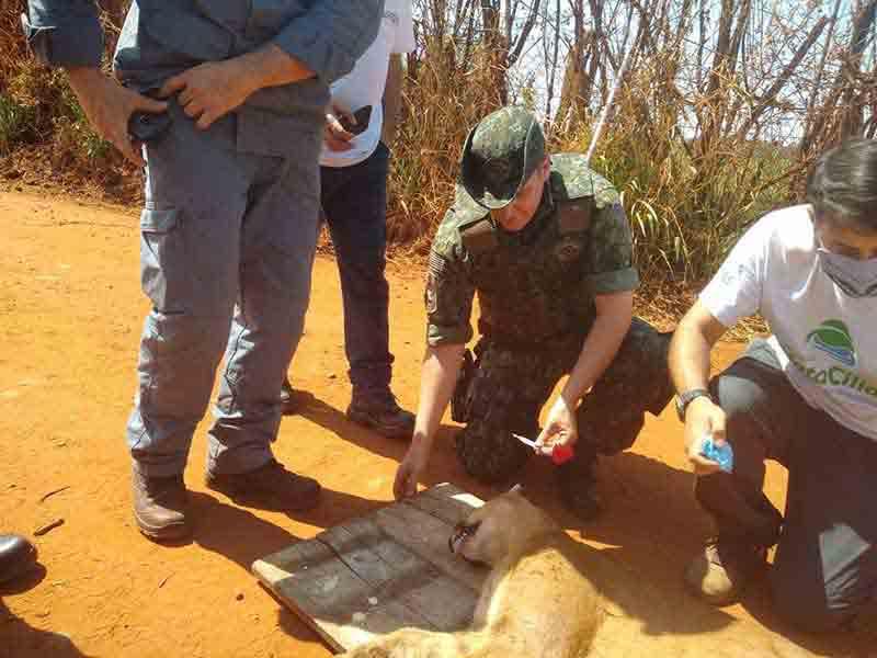 Onça-parda é resgatada em fazenda em Araras — Foto: Polícia Ambiental/Divulgação