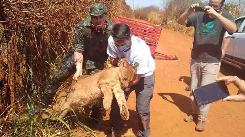 Onça-parda ferida é resgatada em fazenda perto da SP-191 em Araras, SP