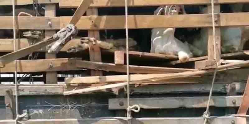 PRF flagra transporte irregular de mais de 300 cabras na rodovia Fernão Dias, em SP; veja vídeo