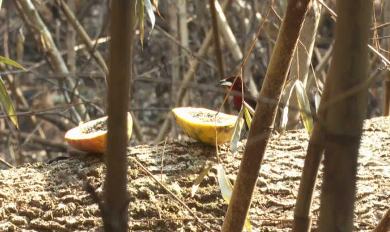 Pássaro se alimenta de fruta deixada em local devastado pelo fogo em Barrinha (SP) — Foto: Reprodução/EPTV