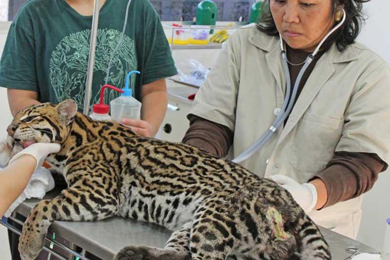 Mata Ciliar reabilita animais queimados por incêndio na Serra do Japi, em SP