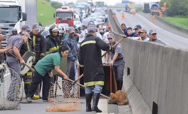 Onça precisou ser resgatada pela equipe da AMC em plena Rodovia Anhanguera. Foto: Associação Mata Ciliar.