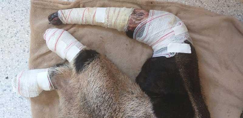 Esta é a situação de um tamanduá-bandeira que sobreviveu a um incêndio. Foto: Associação Mata Ciliar.