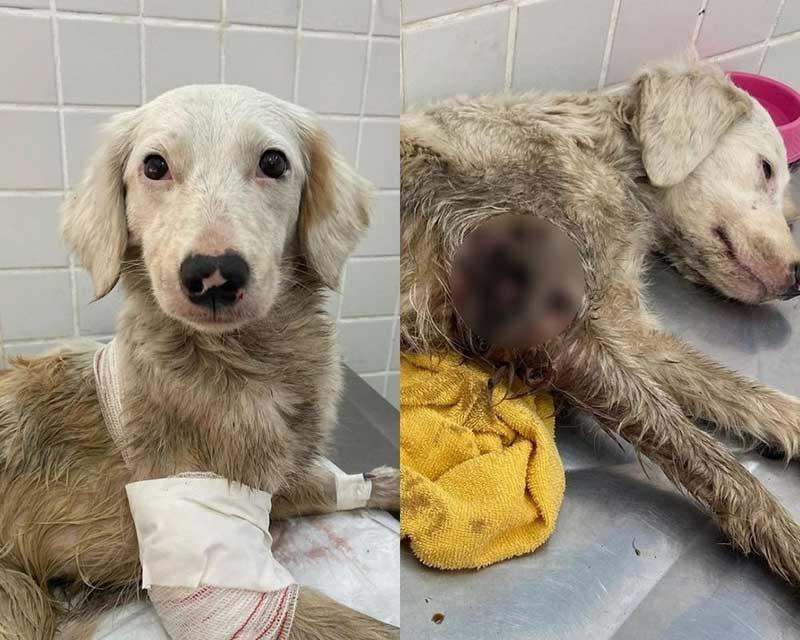 Cachorra é resgatada na rua com centenas de larvas e passa por tratamento no litoral de SP