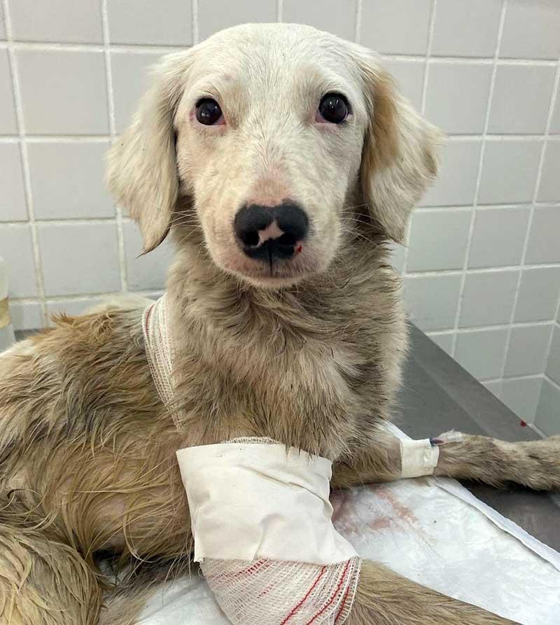 Cachorra segue em ONG de Santos e, após recuperação, ficará disponível para adoção — Foto: Reprodução/ONG Viva Bicho