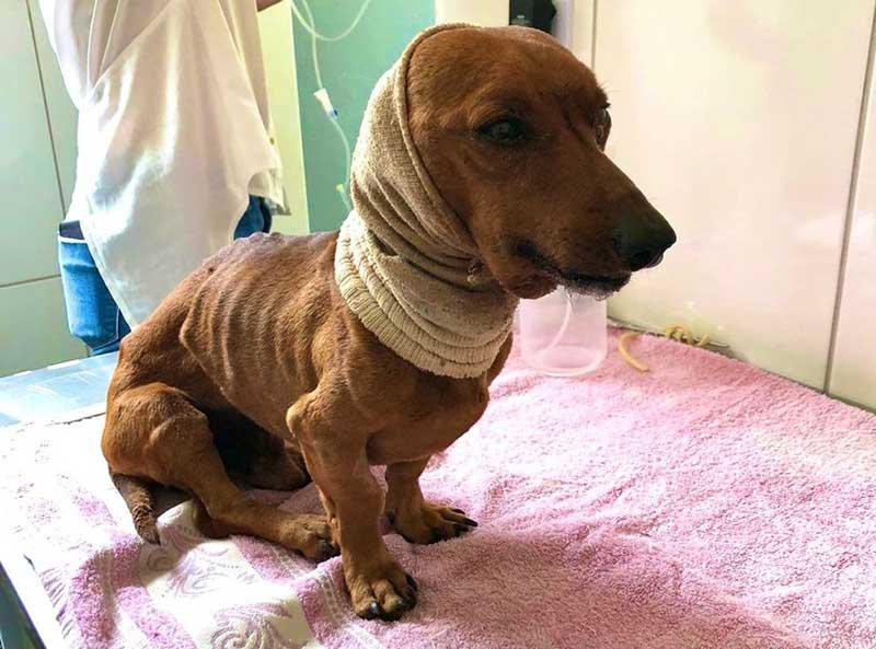 Cachorro que foi enterrado vivo foi resgatado e recebeu atendimento veterinário em Itapetininga (SP) — Foto: União Protetora do Animais de Itapetininga/ Divulgação